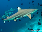 Healthy shark populations are an asset to the Indonesian economy, worth US$ 22 million per year, according to recent study