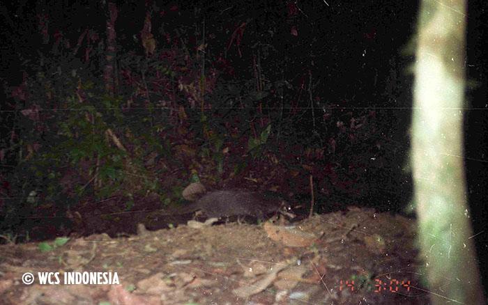 Sunda Otter Civet